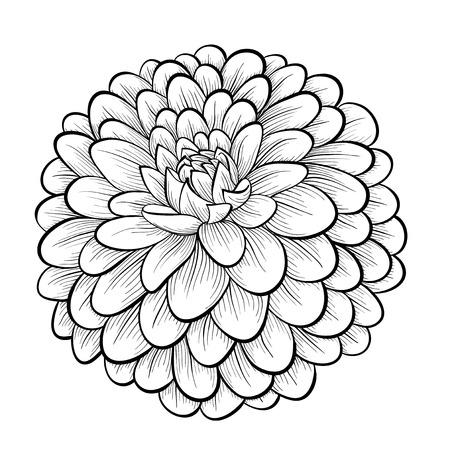 dahlia flower: beautiful monochrome black and white dahlia flower isolated on white background. Hand-drawn contour lines and strokes. Illustration