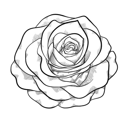 love rose: hermoso blanco y negro monocromo rosa aisladas sobre fondo blanco. Curvas de nivel dibujadas a mano y accidentes cerebrovasculares.