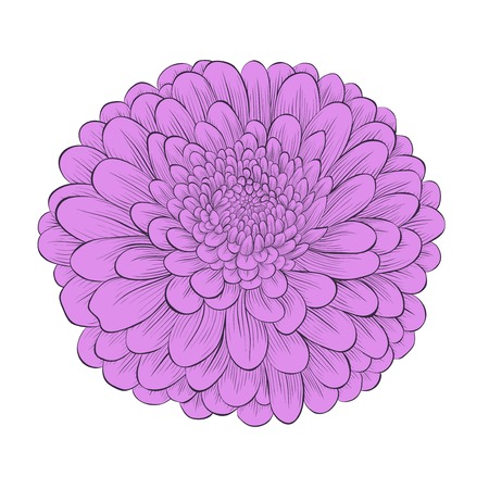 beautiful flower chrysanthemum isolated on white background . Hand-drawn contour lines and strokes. Perfect for background greeting cards and invitations to the day of the wedding, birthday and Valentines Day Vector