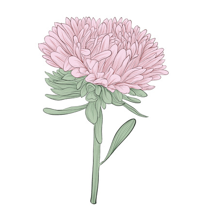 beautiful aster flower isolated on white. Hand-drawn contour lines and strokes. Perfect for greeting cards and invitations to the day of the wedding, birthday and Valentines Vector