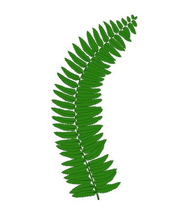 herbaceous: Beautiful fern leaves isolated on white background.