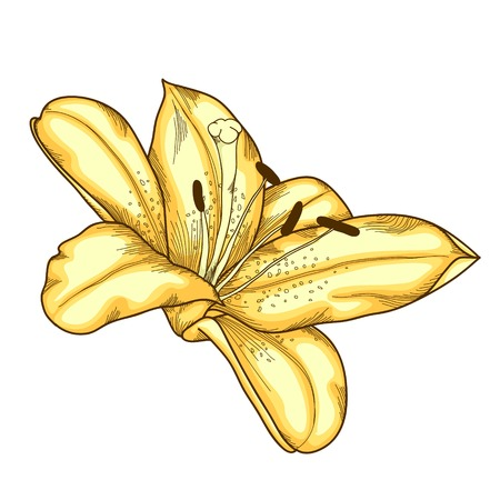 beautiful lily in the style of engraving and watercolors, isolated on white background Vector