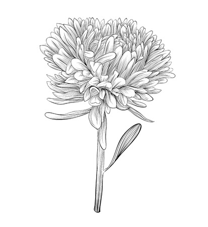 aster: beautiful monochrome, black and white aster flower isolated  Hand-drawn contour lines and strokes  Perfect for background greeting cards and invitations to the day of the wedding, birthday and Valentine Illustration