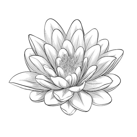 Beautiful monochrome, black and white lotus flower painted in graphic style isolated on white background Vector