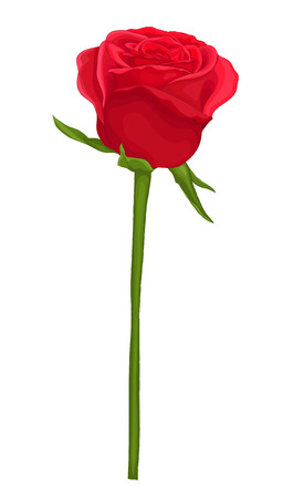 beautiful red rose with long stem isolated on white