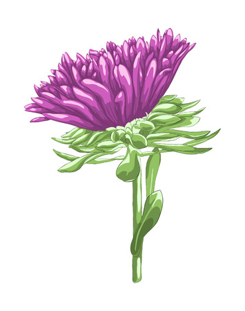 aster flower: Beautiful purple aster isolated on white background