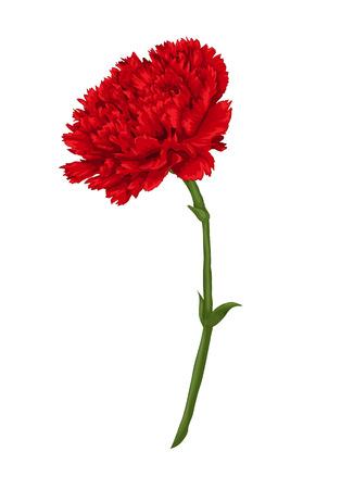 白い背景上に分離されて美しい赤いカーネーション