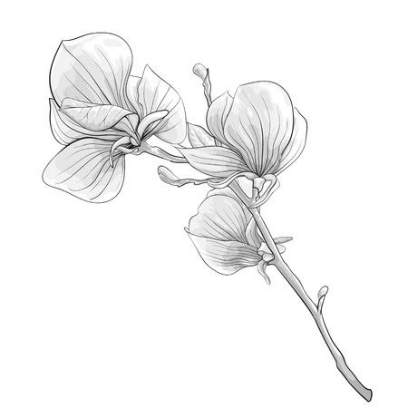 아름다운 흑백, 흑백 나뭇 가지 꽃이 만발한 목련 나무. 꽃입니다. 손으로 그린 윤곽선과 뇌졸중.
