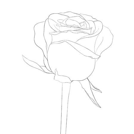 rose blanche: belle monochrome, noir et blanc bourgeon rose avec tige. fleur isol�e. Lignes et des traits de contour dessin� � la main.