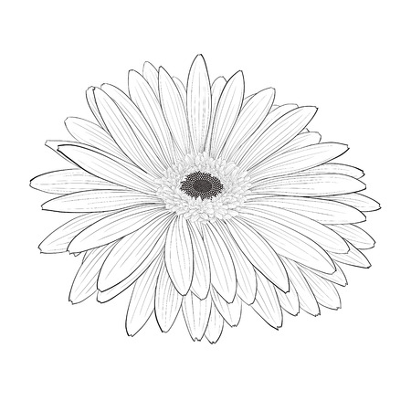 gerbera daisy: beautiful monochrome, black and white gerbera flower isolated. Hand-drawn contour lines and strokes.