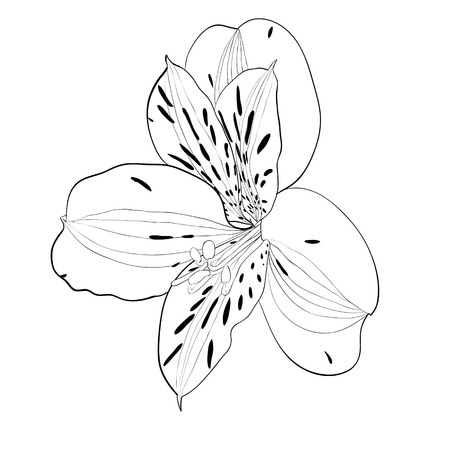 beautiful monochrome, black and white Alstroemeria flower isolated. Hand-drawn contour lines and strokes. Vector