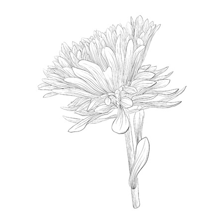 aster: beautiful monochrome, black and white aster flower isolated. Hand-drawn contour lines and strokes.