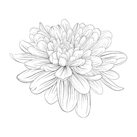 dalia: monocromático hermoso blanco y negro flor de la dalia aislada en el fondo blanco. Curvas de nivel dibujadas a mano y accidentes cerebrovasculares. Vectores