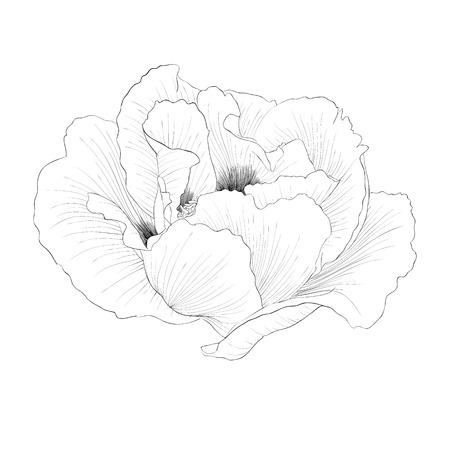 peony tree: bella monocromatico piante in bianco e nero Paeonia arborea (Albero peonia) fiore isolato su sfondo bianco. Linee di contorno disegnati a mano e ictus.