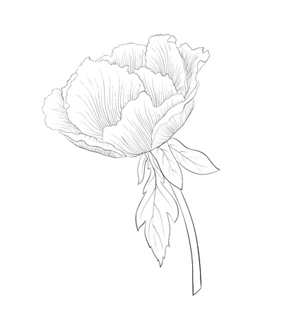 tree peony: beautiful monochrome black and white Plant Paeonia arborea (Tree peony) flower isolated on white background. Hand-drawn contour lines and strokes.