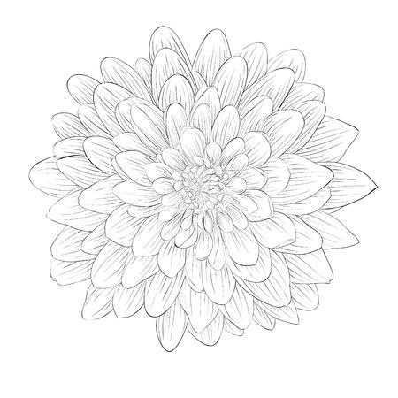 白い背景で隔離の美しいモノクロ黒と白のダリア花。手で描かれた輪郭線とストローク。  イラスト・ベクター素材