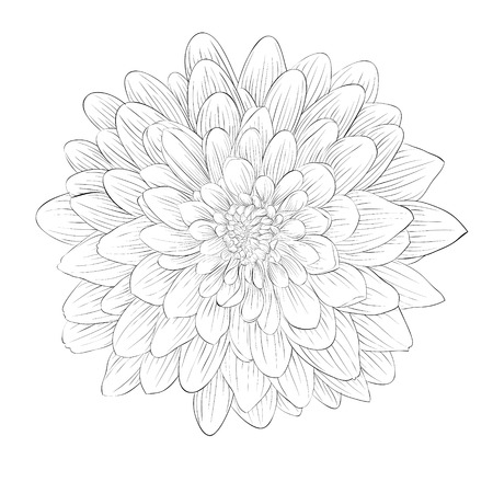 black and white image: beautiful monochrome black and white dahlia flower isolated on white background. Hand-drawn contour lines and strokes. Illustration