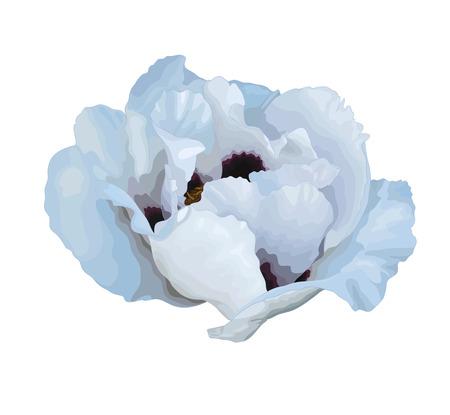 peony tree: Bella pianta Paeonia arborea (Albero peonia) disegno fiore bianco isolato su sfondo bianco. Vettoriali
