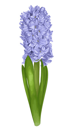 beautiful purple hyacinth isolated on white background.