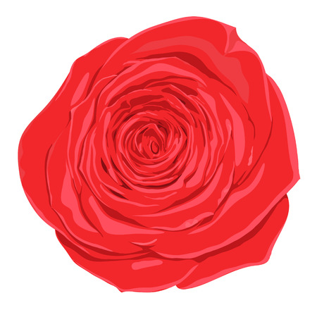 beautiful red rose  flower isolated on white background.  Vector