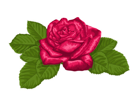 beautiful red rose and leaves isolated on white. Hand-drawn with effect of drawing in watercolor Vector
