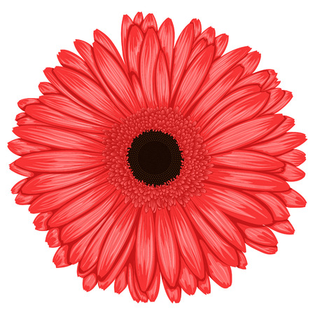 gerber: Beautiful pink gerbera isolated on white background . Hand-drawn with effect of drawing in watercolor