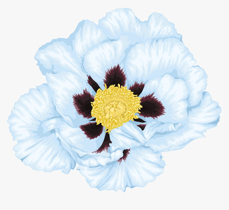 beautiful Plant Paeonia arborea (Tree peony) white flower isolated on white. Hand-drawn with effect of drawing in watercolor Vector