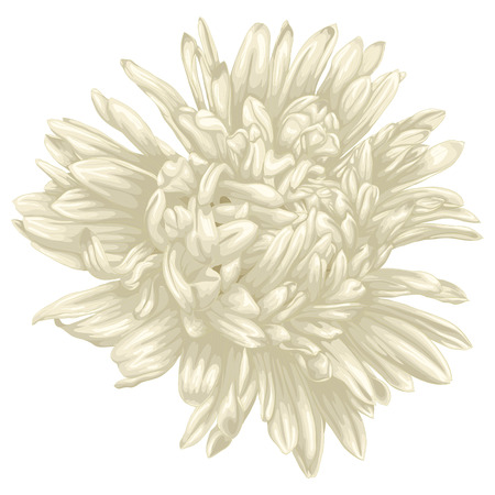 Beautiful beige aster isolated on white background . Hand-drawn with effect of drawing in watercolor Vector