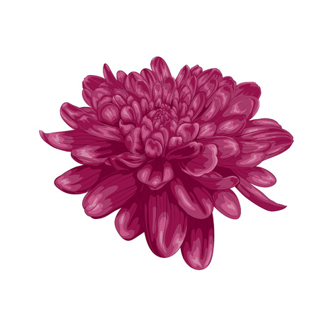 hand painted: beautiful purple dahlia with the effect of a watercolor drawing isolated on white background. Illustration