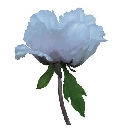 peony tree: Bella pianta Paeonia arborea (Albero peonia) fiore bianco con l'effetto di un disegno ad acquerello isolato su sfondo bianco. Vettoriali