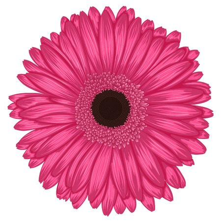Beautiful pink gerbera isolated on white background . Hand-drawn with effect of drawing in watercolor
