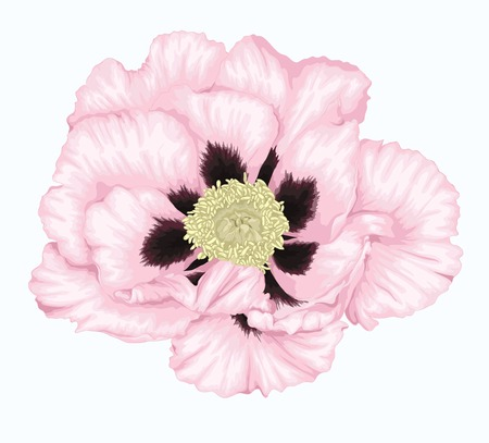 tree peony: beautiful Plant Paeonia arborea (Tree peony) white flower isolated on white. Hand-drawn with effect of drawing in watercolor Illustration