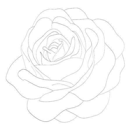 rose blanche: Belle noir et blanc monochrome rose isol� sur fond blanc. Lignes et des traits de contour dessin� � la main.