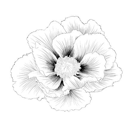 beautiful monochrome black and white Plant Paeonia arborea (Tree peony) flower isolated on white background. Hand-drawn contour lines and strokes