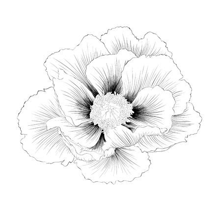 mooie zwart-wit zwart-wit Plant Paeonia arborea (Boompioen) bloem op een witte achtergrond. Hand getekende contourlijnen en beroertes