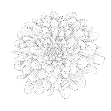 monocromático hermoso blanco y negro flor de la dalia aislada en el fondo blanco. Curvas de nivel dibujadas a mano y apoplejías.
