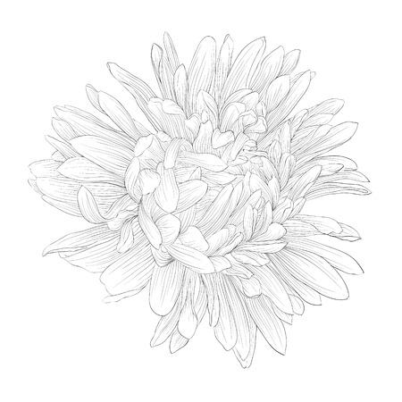 分離された美しいモノクロ、黒と白のアスターの花。手で描かれた輪郭線とストローク。