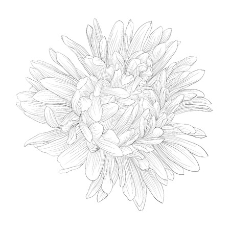 chrysanthemum: beautiful monochrome, black and white aster flower isolated. Hand-drawn contour lines and strokes.