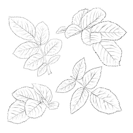 art pen: set of beautiful black and white rose leaves isolated on white. Hand-drawn contour lines and strokes.