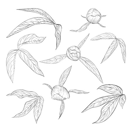 peony black: set of beautiful black and white peony leaves and buds isolated on white. Hand-drawn contour lines and strokes. Illustration