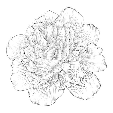 flower art: bella monocromatica in bianco e nero peonia fiore isolato su sfondo bianco. Curve di livello e tratti disegnati a mano.