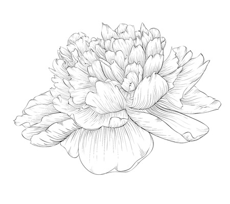 peony: beautiful monochrome black and white peony flower isolated on white background. Hand-drawn contour lines and strokes. Illustration