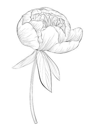 아름다운 흑백 검은 색과 흰색 배경에 고립 작 약 꽃입니다. 손으로 그린 등고선과 뇌졸중.