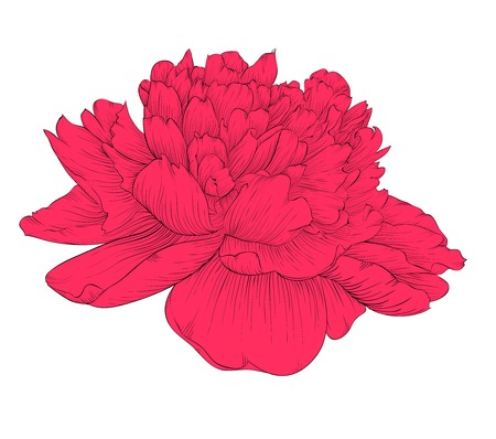 beautiful peony flower isolated on background. Hand-drawn contour lines and strokes. Vector