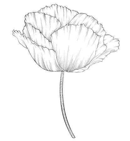 rose blanche: beau noir monochrome et de pavot blanc dans un style graphique dessin� � la main dans des couleurs cru isol� sur fond. Lignes de contour et coups tir� par la main. Illustration