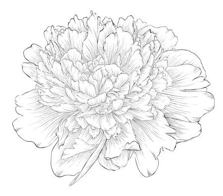 обращается: красивый монохромный черный и белый пион цветок на белом фоне. Ручной обращается контурные линии и штрихи.
