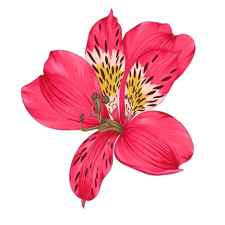 pink lily: Beautiful bright pink alstroemeria with watercolor effect isolated on white background