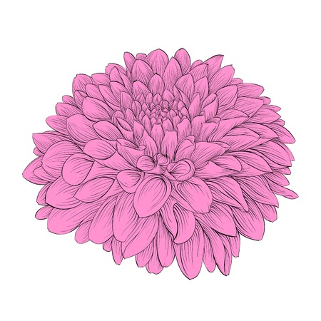 Beautiful flower Dahlia isolated on background. Hand-drawn contour lines and strokes. Vector