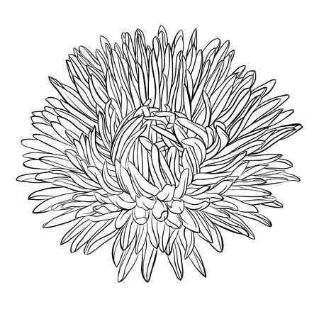 分離された美しい白黒、黒と白のアスターの花。手描きの輪郭線とストローク。グリーティング カードと招待状結婚式、誕生日、母の日、その他の  イラスト・ベクター素材