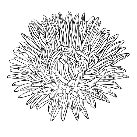 beautiful monochrome, black and white aster flower isolated. Hand-drawn contour lines and strokes. for greeting cards and invitations of wedding, birthday, mother's day and other seasonal holiday